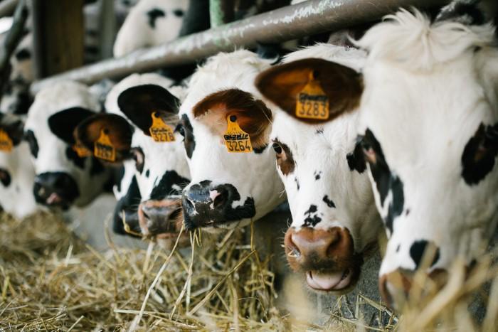 Photographe professionnelle en agriculture - élevage bovin