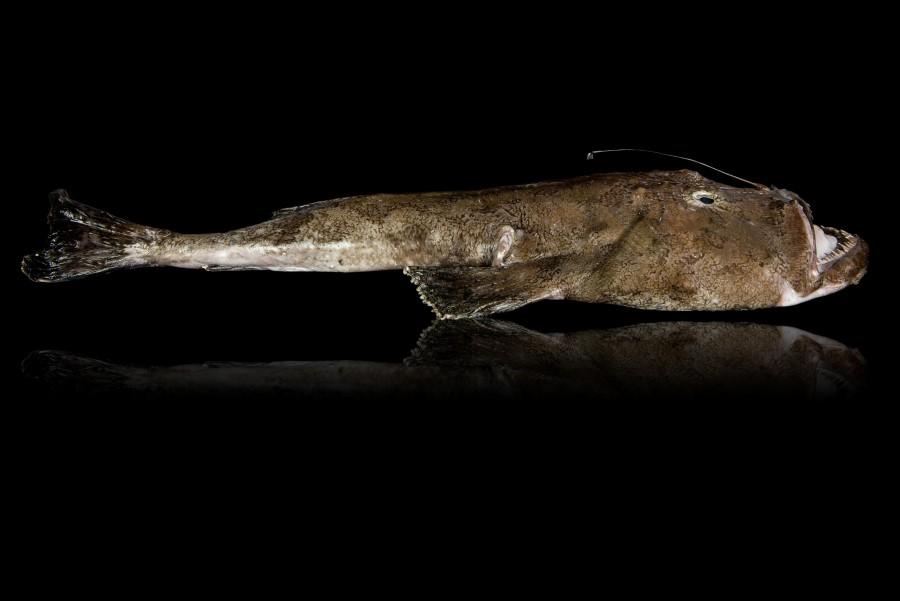 Photos de poissons, lotte, sur fond noir pour packaging