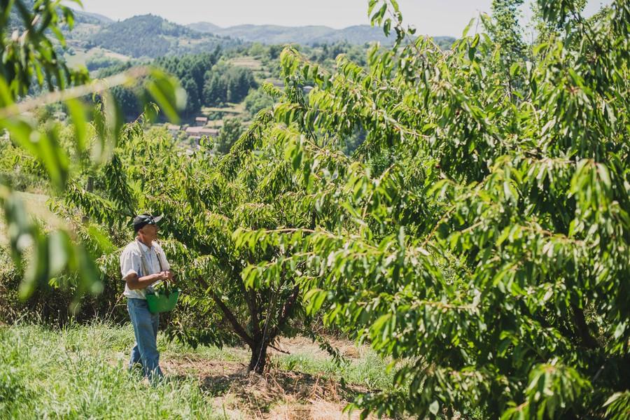 Récolte des cerises en Ardèche, reportage photo ©Eve Hilaire - Studio des 2 Prairies
