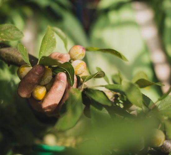 Photographe agriculture : reportage sur la récolte des mirabelles et des quetches.