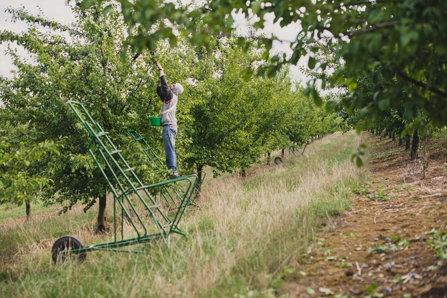 Récolte manuelle des quetsches ©Ev Hilaire, photographe en Rhône Alpes, Savoie, Chambéry