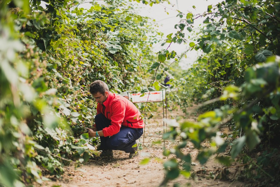 Reportage photo : récolte de fruits rouges en Auvergne ©Eve Hilaire/Studio des 2 Prairies