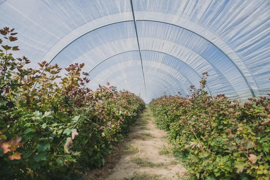 Reportage photo en agriculture : les petits fruits rouges en Auvergne ©Eve Hilaire - Studio des 2 Prairies