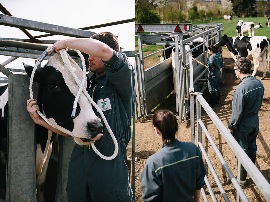 élevage laitier : Holstein