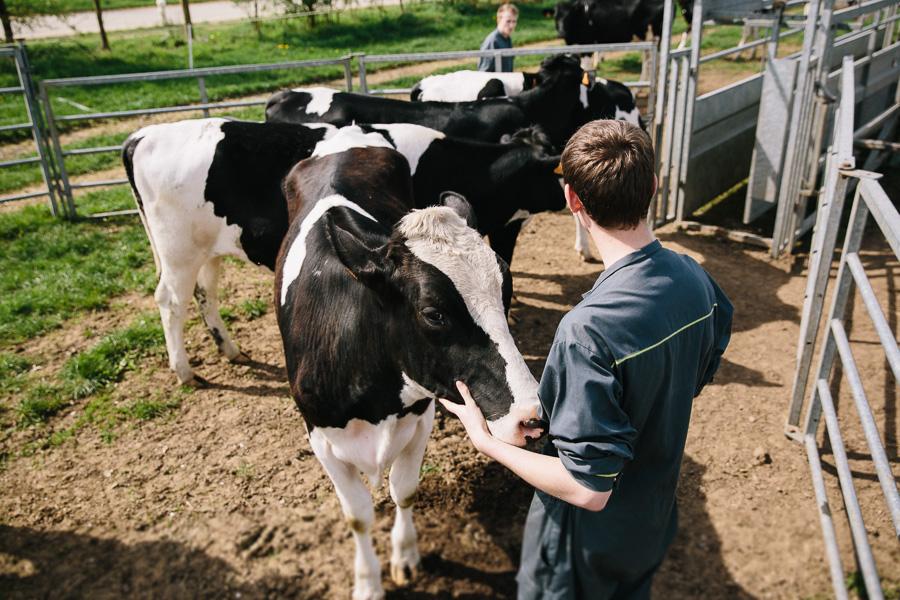 Contention des Holstein