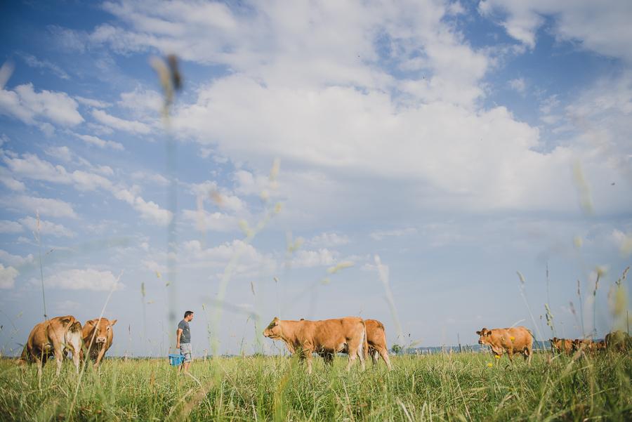 Reportage photo eleveurs : vaches limousines en Isère. ®Studio des 2 Prairies, photo vidéo en agriculture