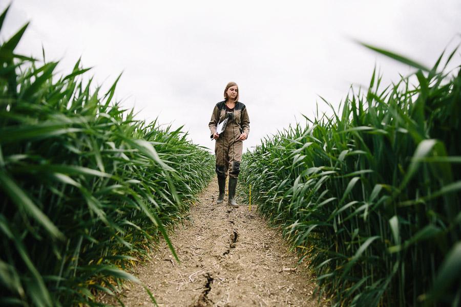 blé culture agronomie