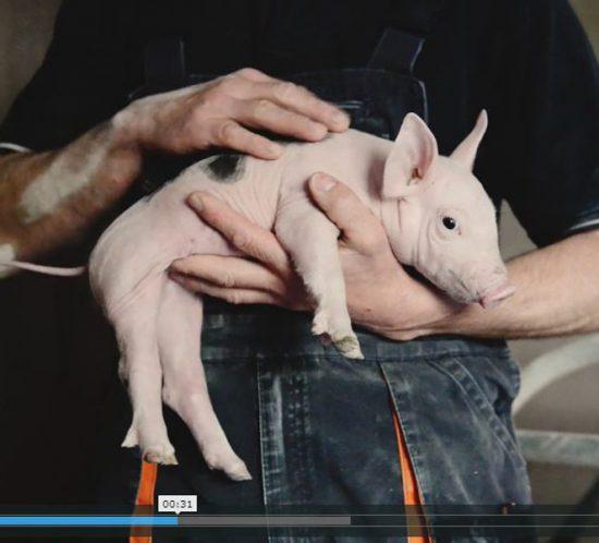 Réalisation vidéo élevage pour la Cooperl. Commande coop de france - ©Eve Hilaire - Studio des 2 Prairies