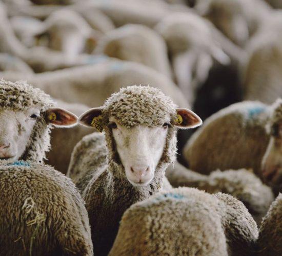 Realisation webserie video agricole : coopérative L'Agneau Soleil