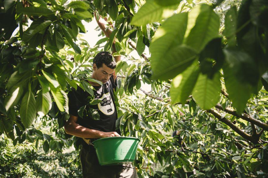 Photographe agriculture : les cerises de Sicoly - ©Studio des 2 Prairies