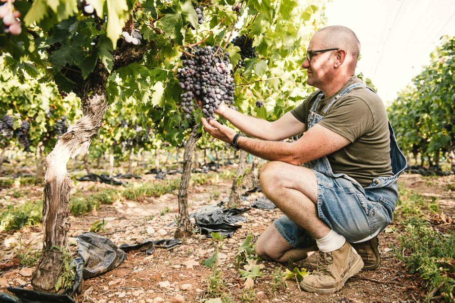 Reportage photo vrai agriculteur, raisin du Ventoux - ©Studio des 2 Prairies