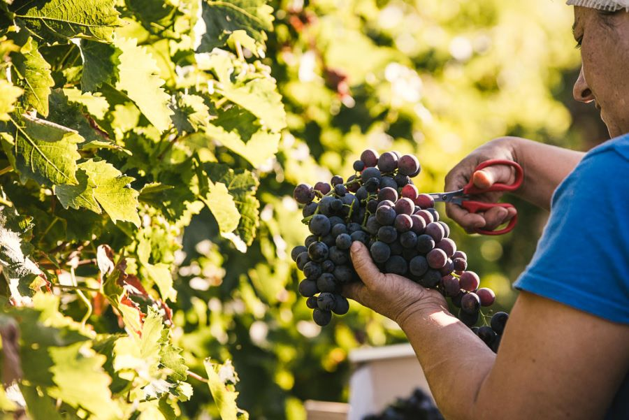 Reportage photo agriculture raisin du Ventoux ©Sutio des 2 Prairies