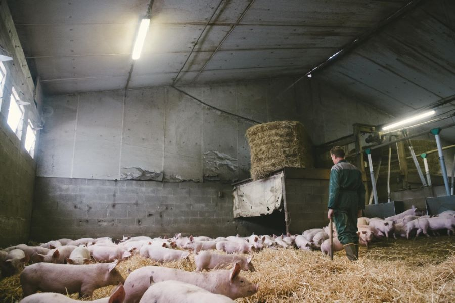 Paillage des cochons - photographes agricoles ©Studio des 2 Prairies