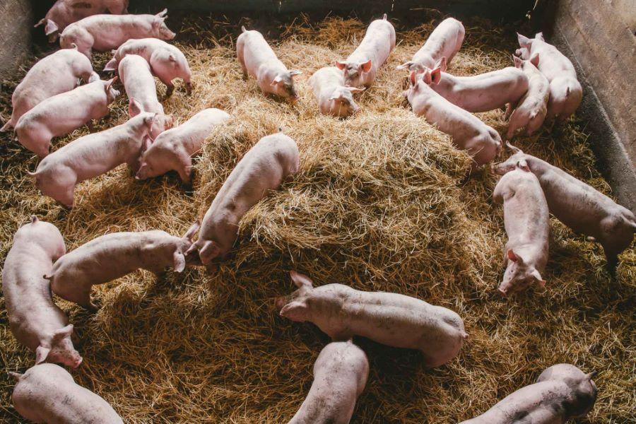 Reportage photo en élevage de porcs sur paille ©Studio des 2 Prairies