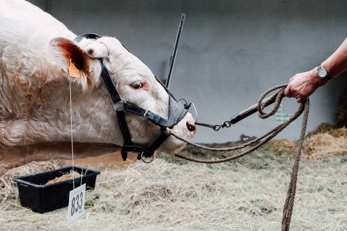 Professional agriculture photographer for cattle contest
