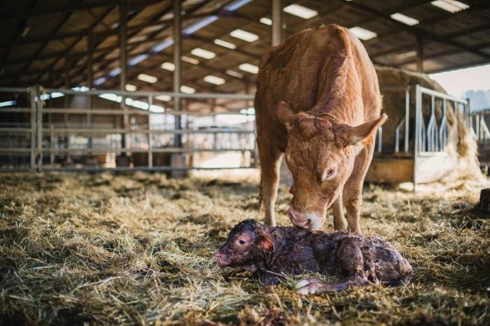 Velage : reportage photo en elevage, agriculture, par photographe pro