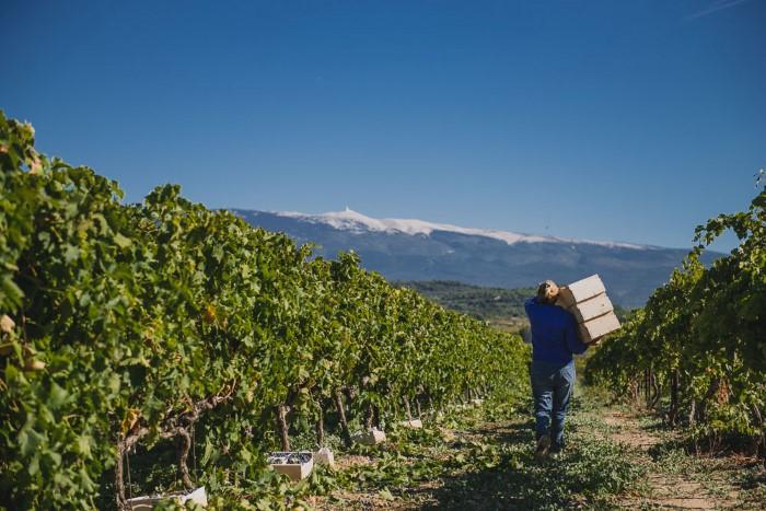 Recolte raisin de table - reportage en viticulture, agriculture